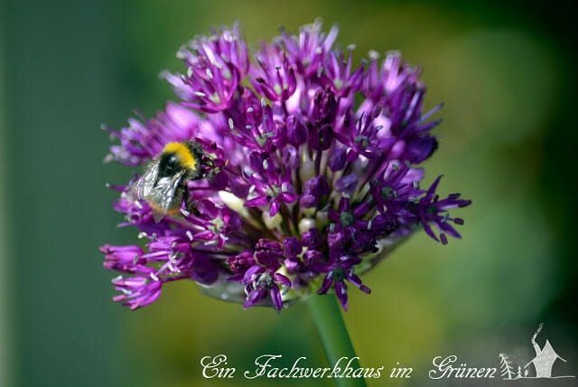 Biene und Zierlauchblüte