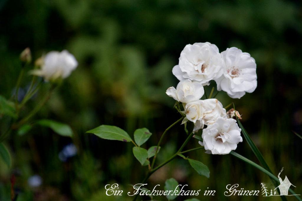 Schneewittchen Rose, Dauerblüher