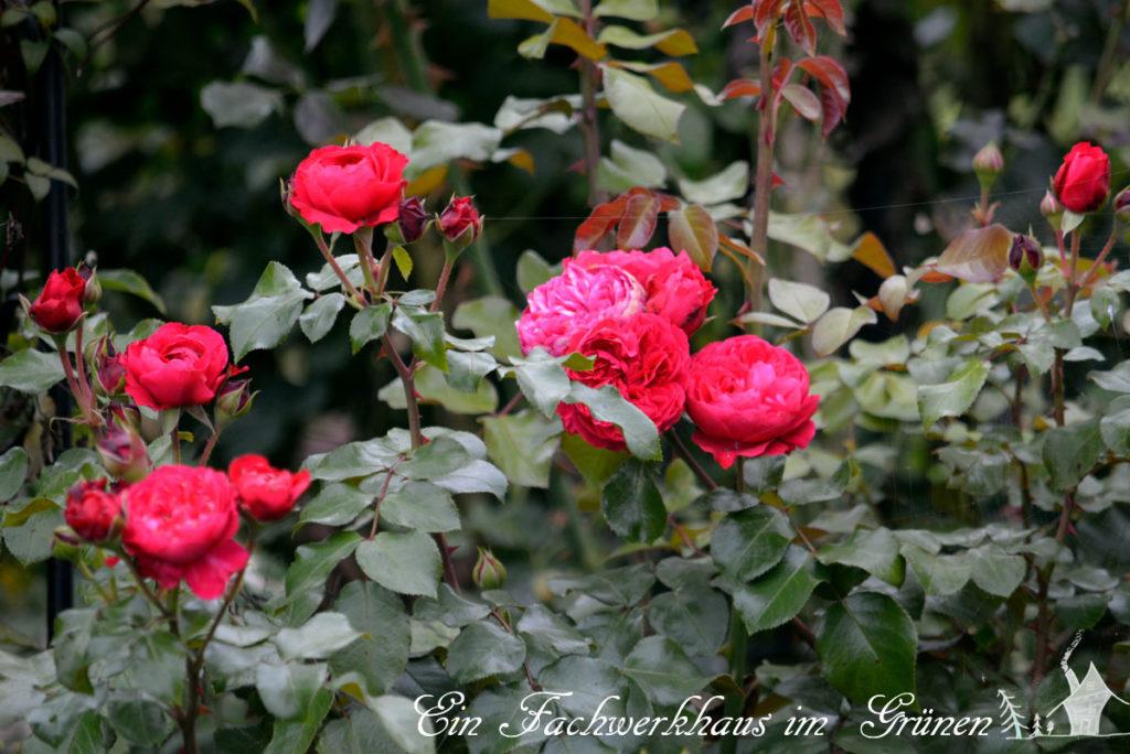 Eden Rose rot