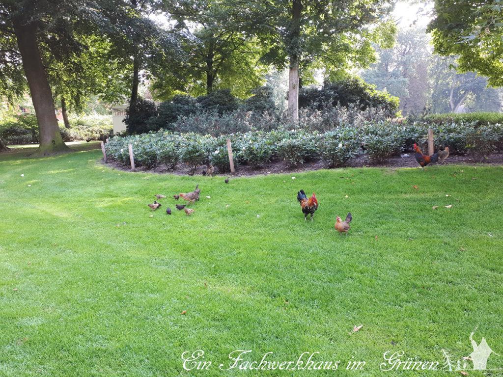 Hühner in einem Park in Breda
