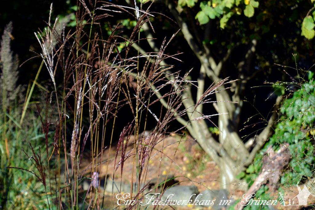 Gräser im Garten hier Miscanthus Ferner Osten