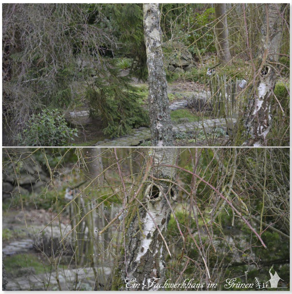 Birken und Birkenzweige in unserem Garten.