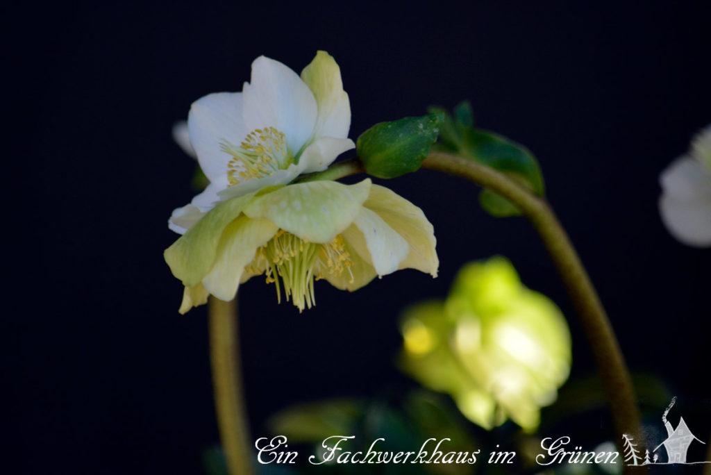 Helleborus, Christrose