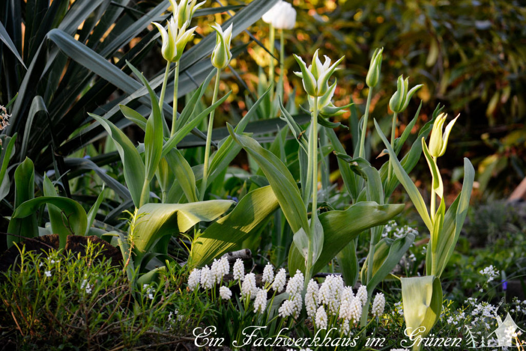 Tulpen, Green Star, Gartenblog