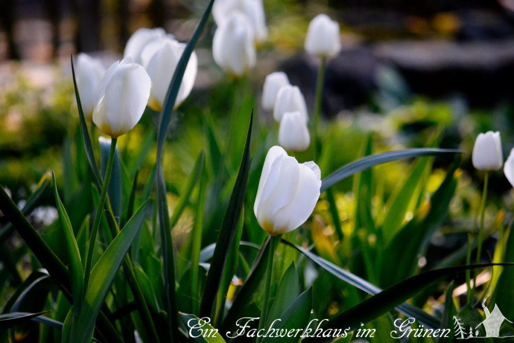 Tulpen, Purissima, Gartenblog