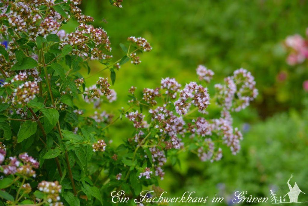 Auch der Oregano ist ein Bienenmagnet in unserem Garten