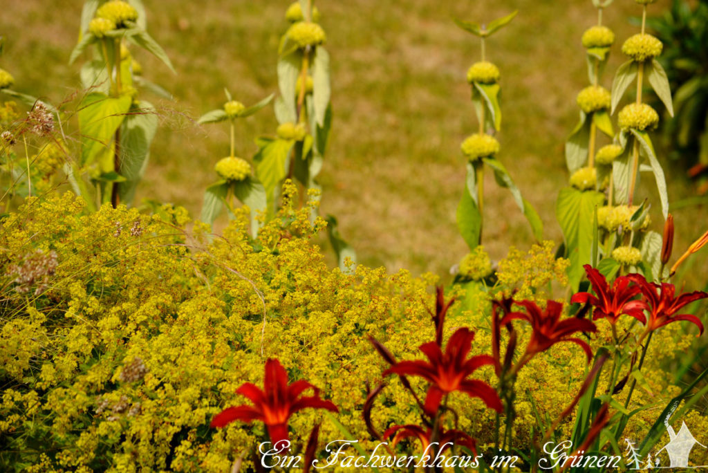 Hemerocallis, Alchemilla, Phlomis russeliana