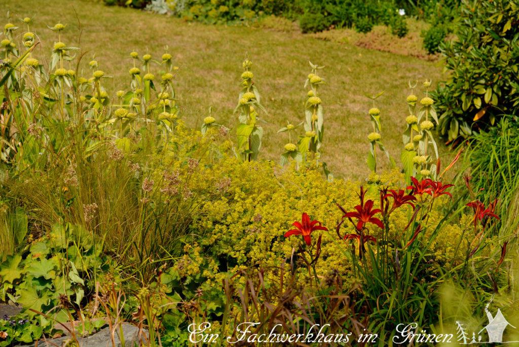 Die Stauden Stipa tenuissima, Alchemilla, Hemerocallis,  Phlomis russeliana
