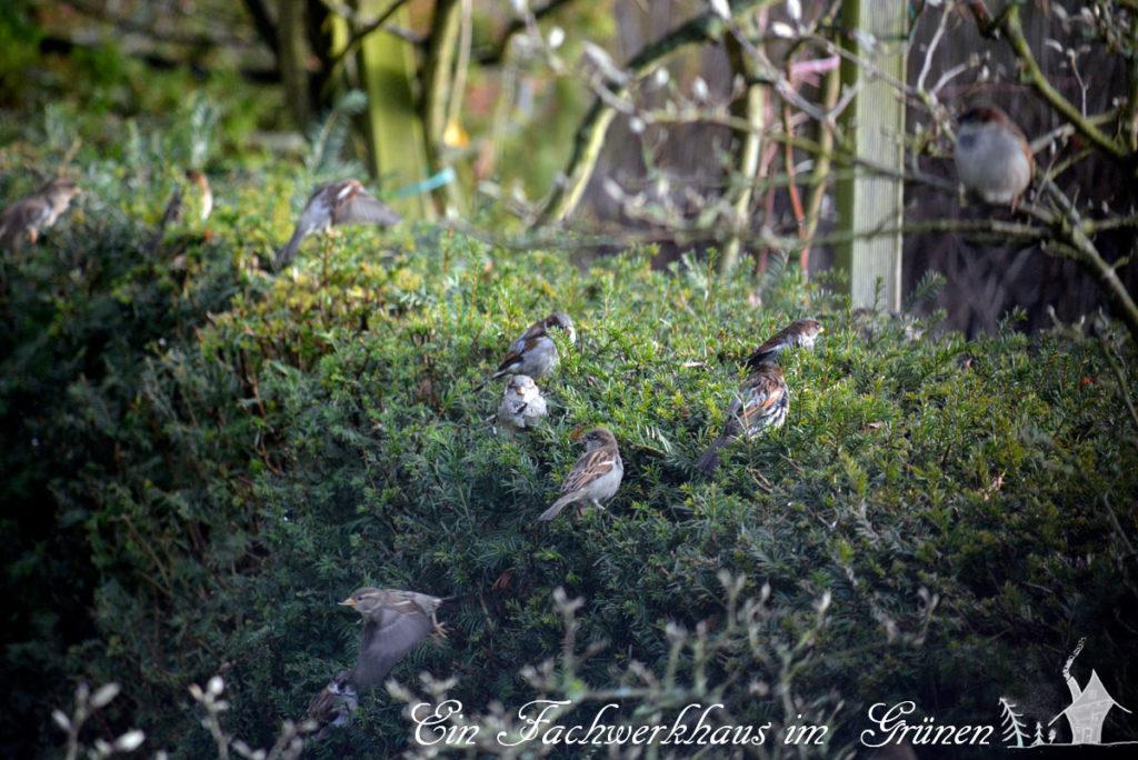 Sperlinge wohnen in einer Eibenhecke.