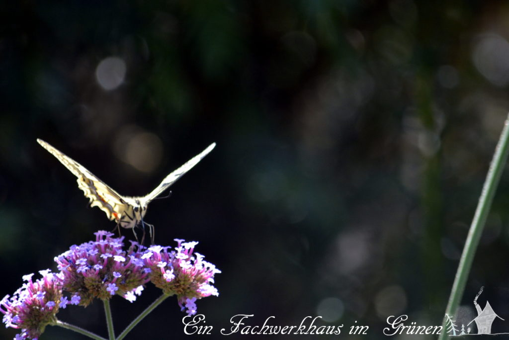 Schwalbenschwanz, Eisenkraut