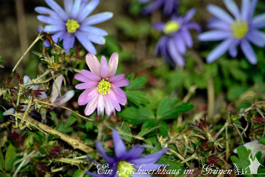 Frühlingsanemonen als Begleiter im Rosengarten