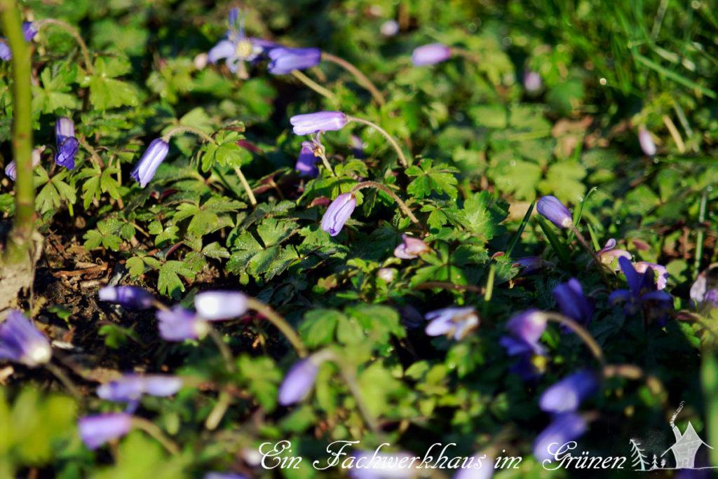 Frühlingsanemonen als Begleiter im Rosengarten, früh Morgens