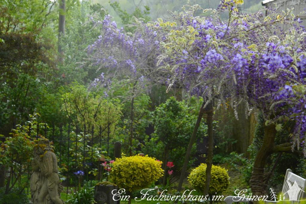 Blauregen in unserem Garten.
