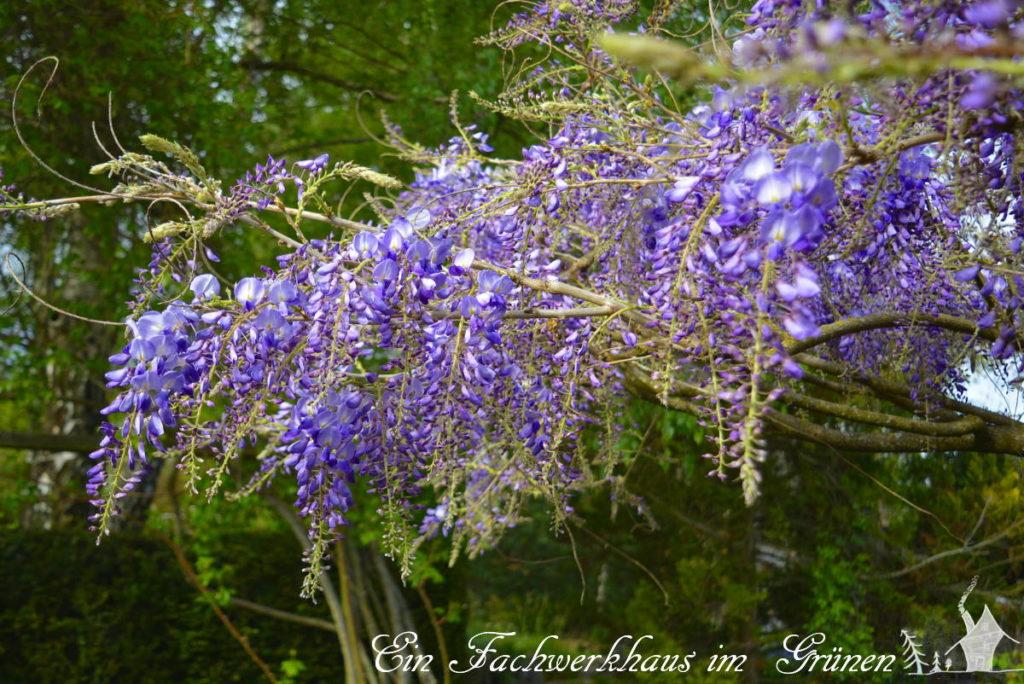 Die Blüten des Blauregens