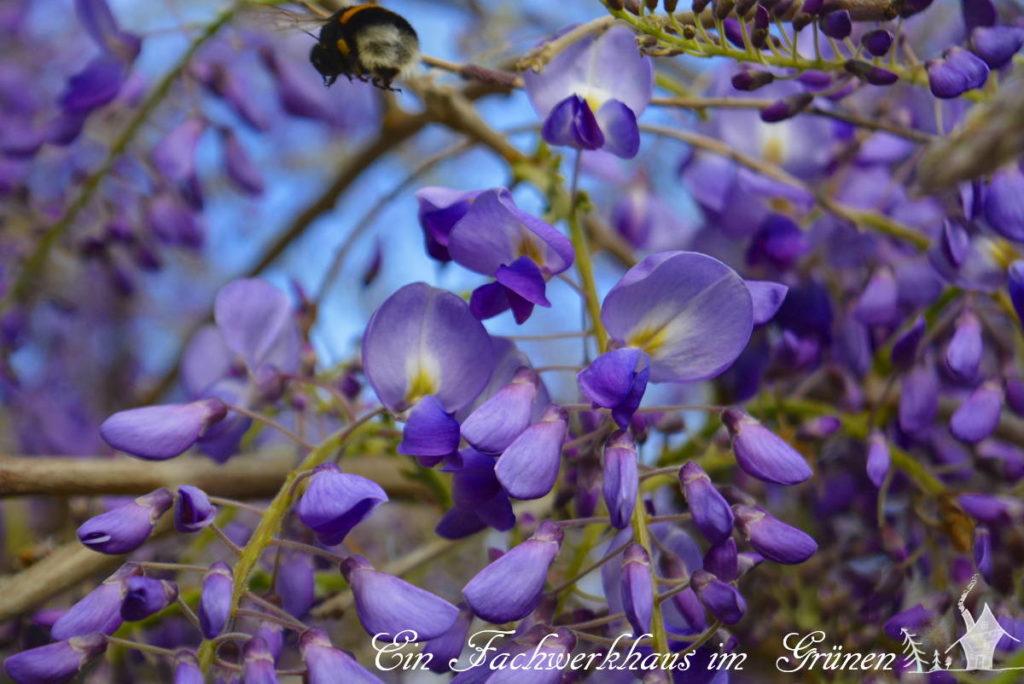 Eine Hummel über den Blüten des Blauregens