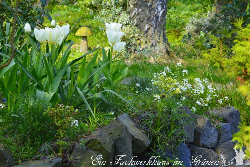 Die Tulpe Purissima in unserem Garten im April.