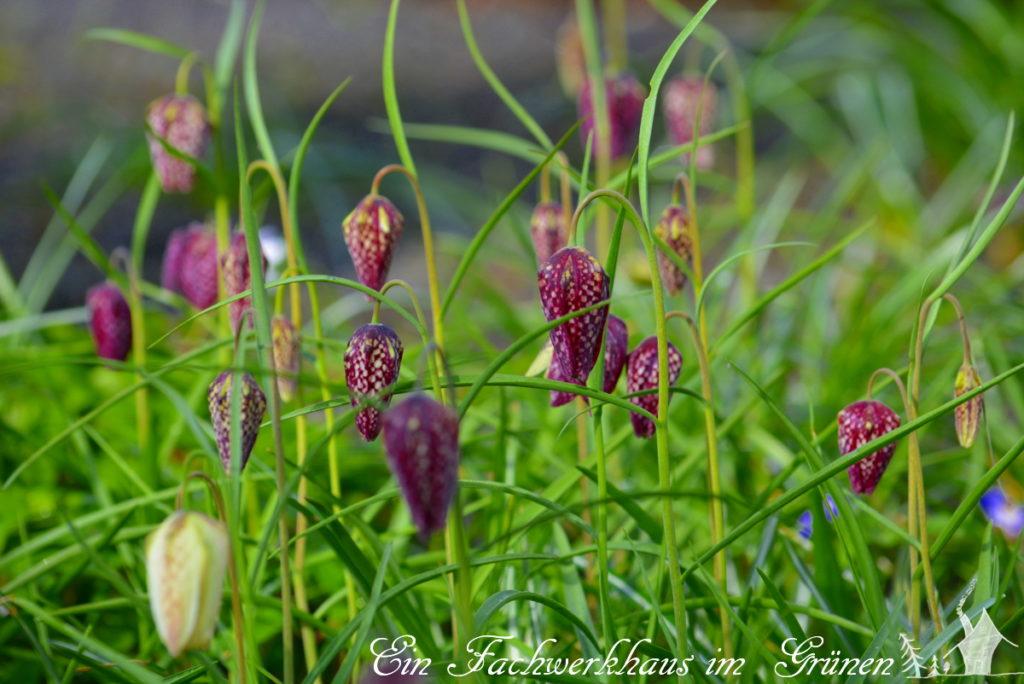 Schachbrettblume mit ihrem charakteristischem Muster