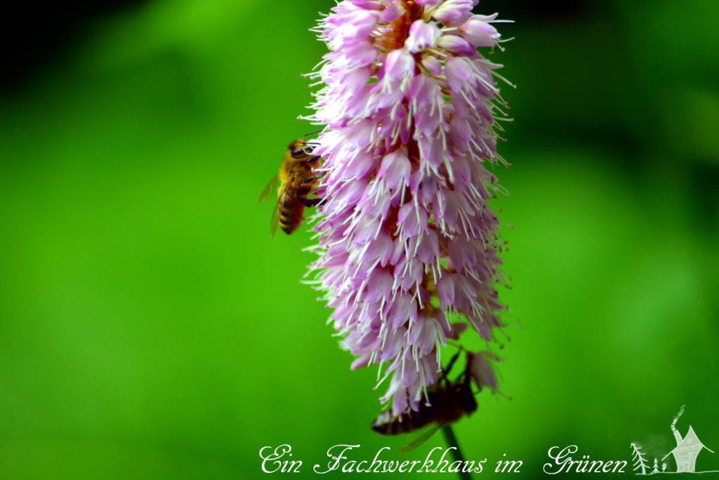 Auch die Bienen haben ihre Freude am Knöterich.