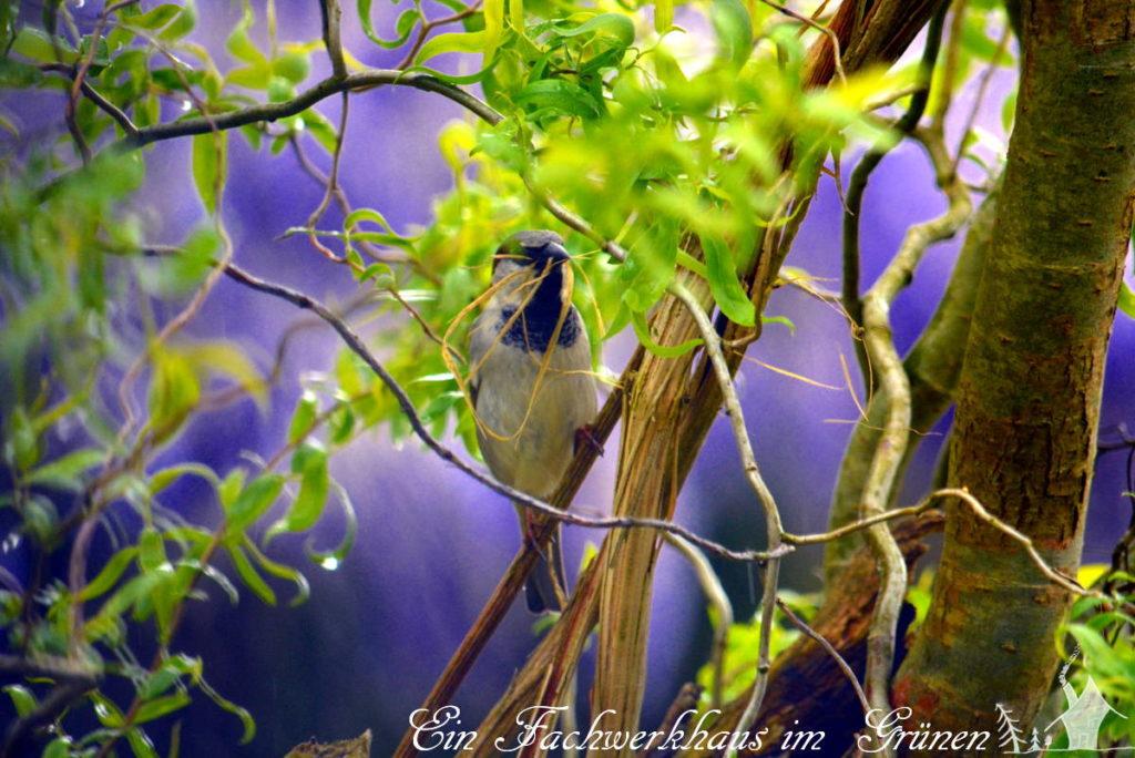 Der Sperling sucht Material für sein Nest.