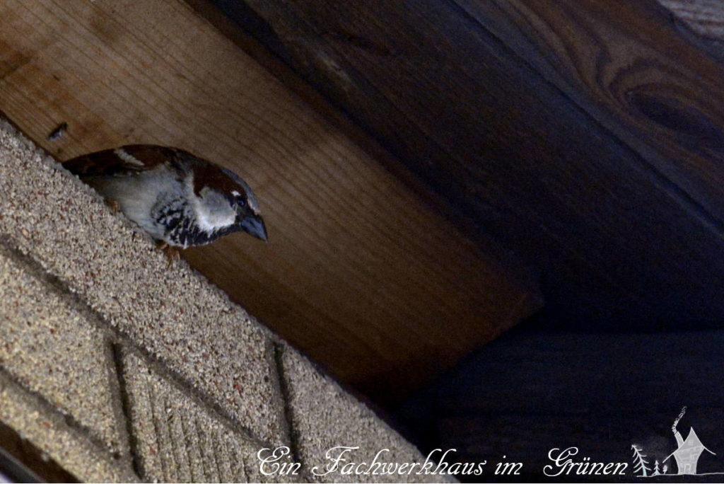Ein Sperling sitzt unter dem Dach unseres Hauses.