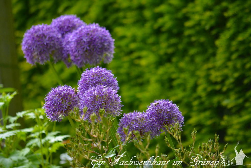 Sternkugel Lauch (Allium)