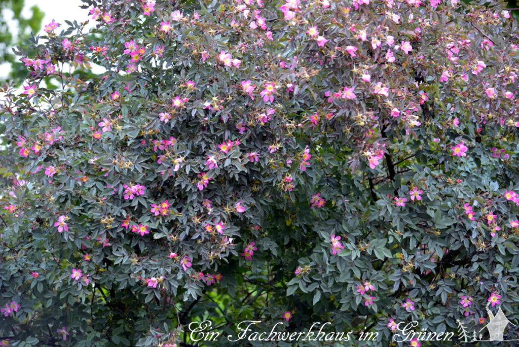 Die wilde Hecht Rose in unserem Garten.