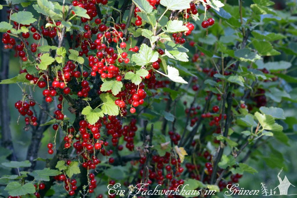 Die rote Johannisbeere in unserem Garten.