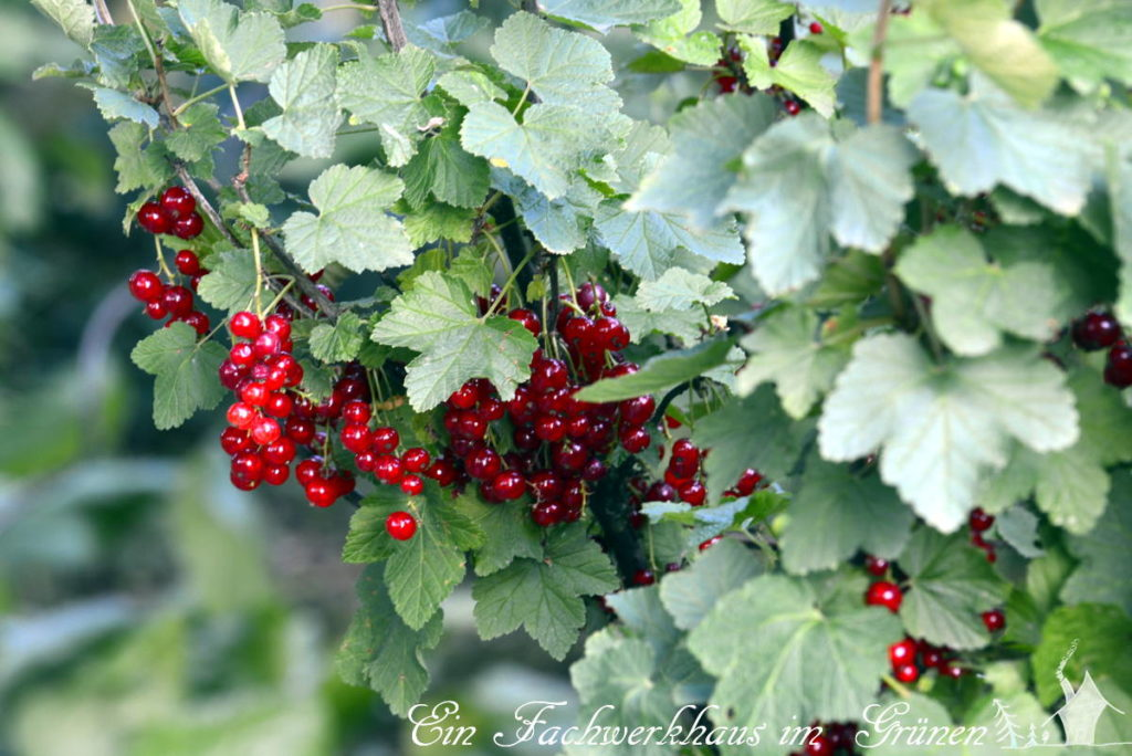 rote Johannisbeeren in unserem Garten.