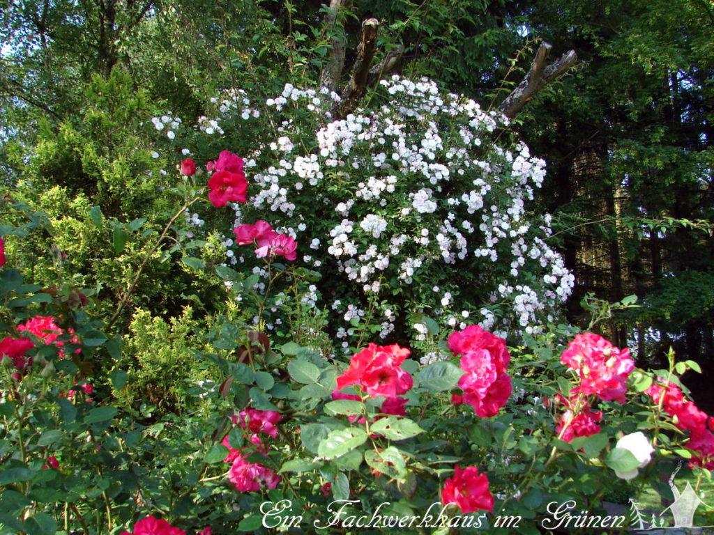 Die Pauls Himalayan Musk in unserem Garten.