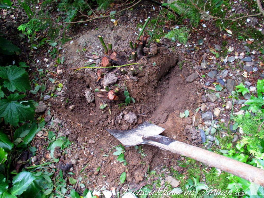 Die Wurzel ließ sich nicht ausgraben.