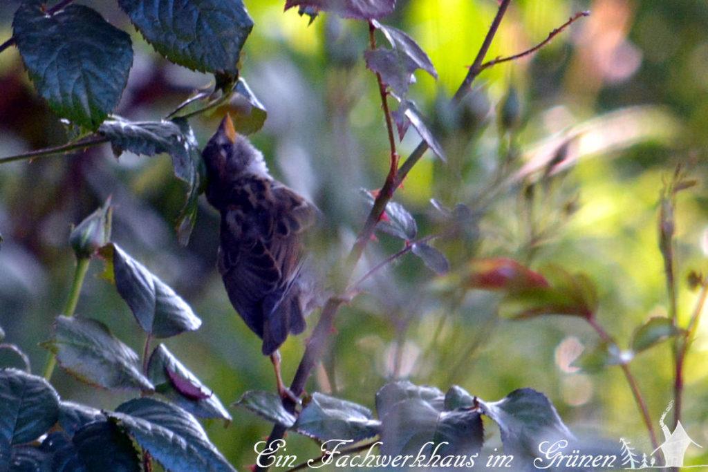 Sperling sucht Blattläuse
