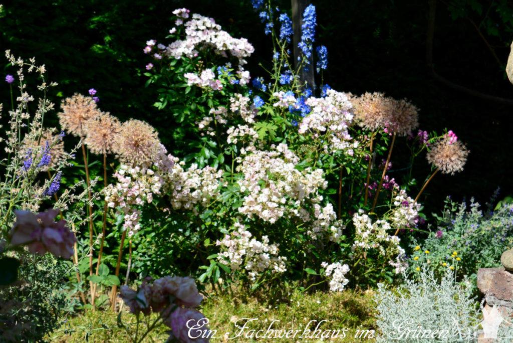 Zierlauch steht verblüht im Rosengarten.