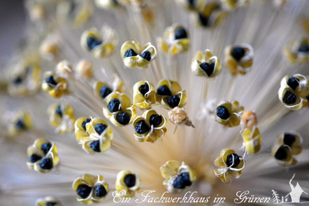 Der Samen des Zierlauchs.