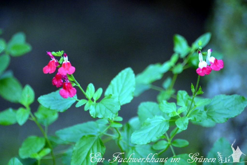 Die Salbei Art Red Lips in unserem Garten.
