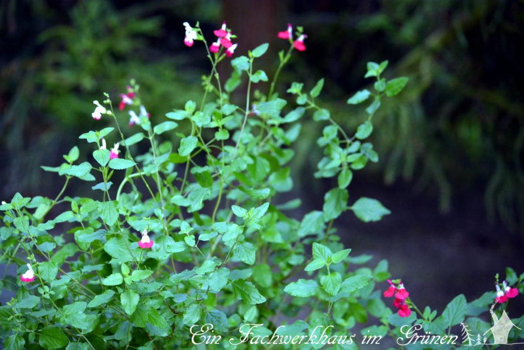 Die Red Lips wächst in einem Trog in der Nähe der Hauswand, so ist sie im Winter wenigstens etwas gegen die Kält geschützt.