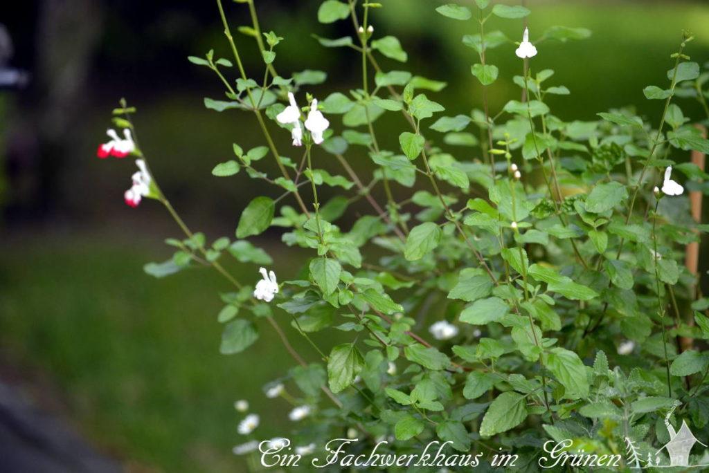 Manche der Blüten, der Red Lips sind sogar ganz weiß.