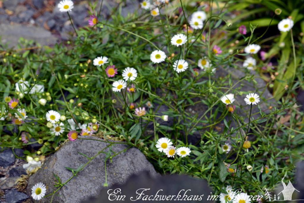 Das spanische Gänseblümchen wächst gerne zwischen Steinen.