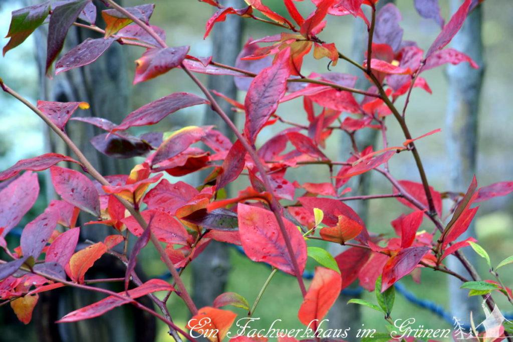 Die Herbstfärbung der Blätter des Blaubeerstrauches