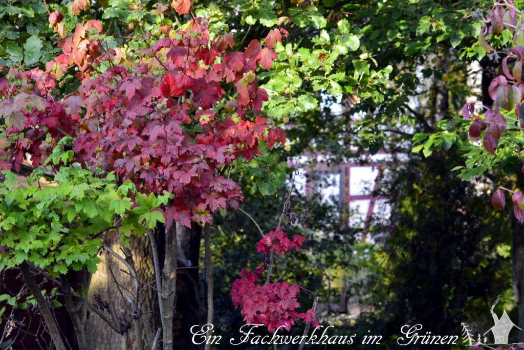 Die Herbstfärbung der Blätter in unserem Garten