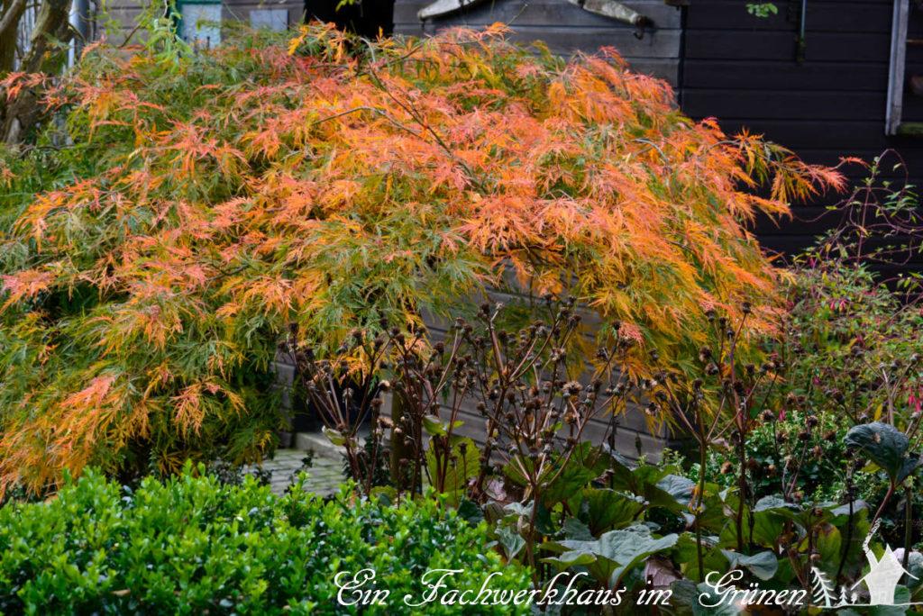 Fächerahorn in unserm Garten.