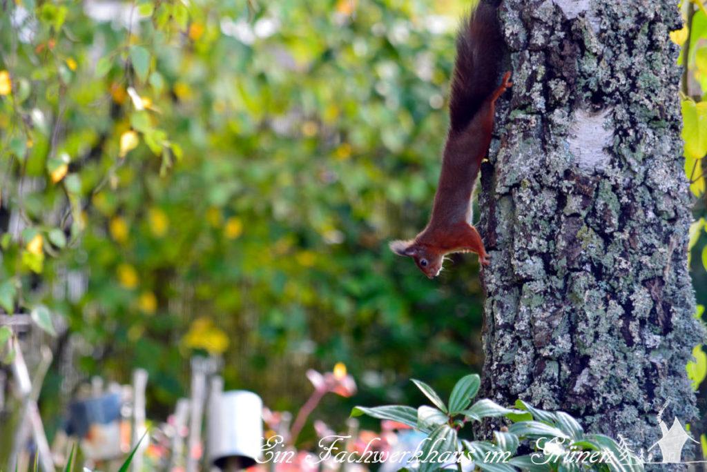 Ein Eichhörnchen rennt einen Baum hinunter.