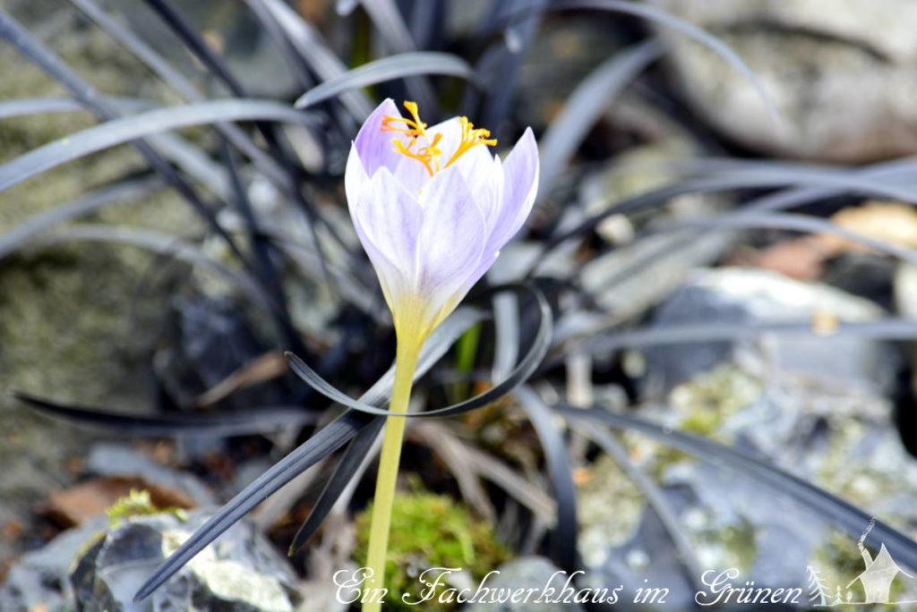 Der Herbstkrokus blüht erst dann im Garten, wenn die anderen Pflanzen schon fast alle verblüht sind und sich auf den herbst vorbereiten.