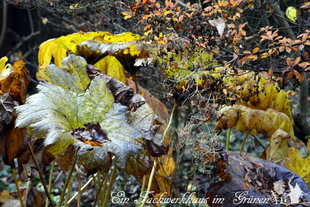 Schildblatt im Herbstgarten