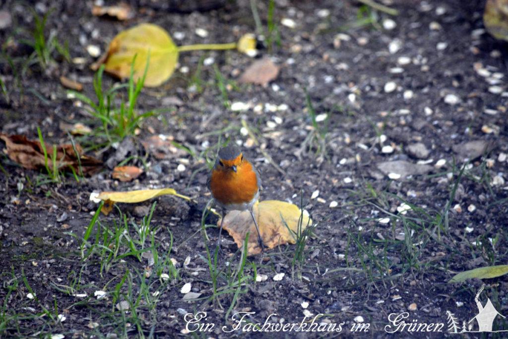 Ein Rotkehlchen läuft durch die Haferflocken, die vom Futterhaus herunter regnen.