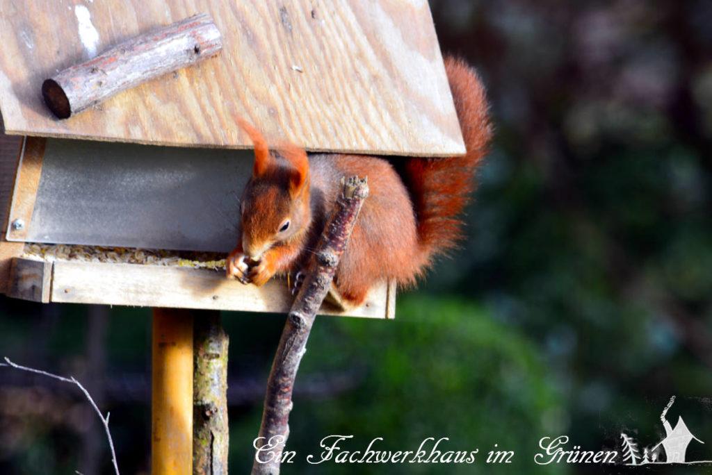 Ein Eichhörnchen räumt das Futterhaus aus.