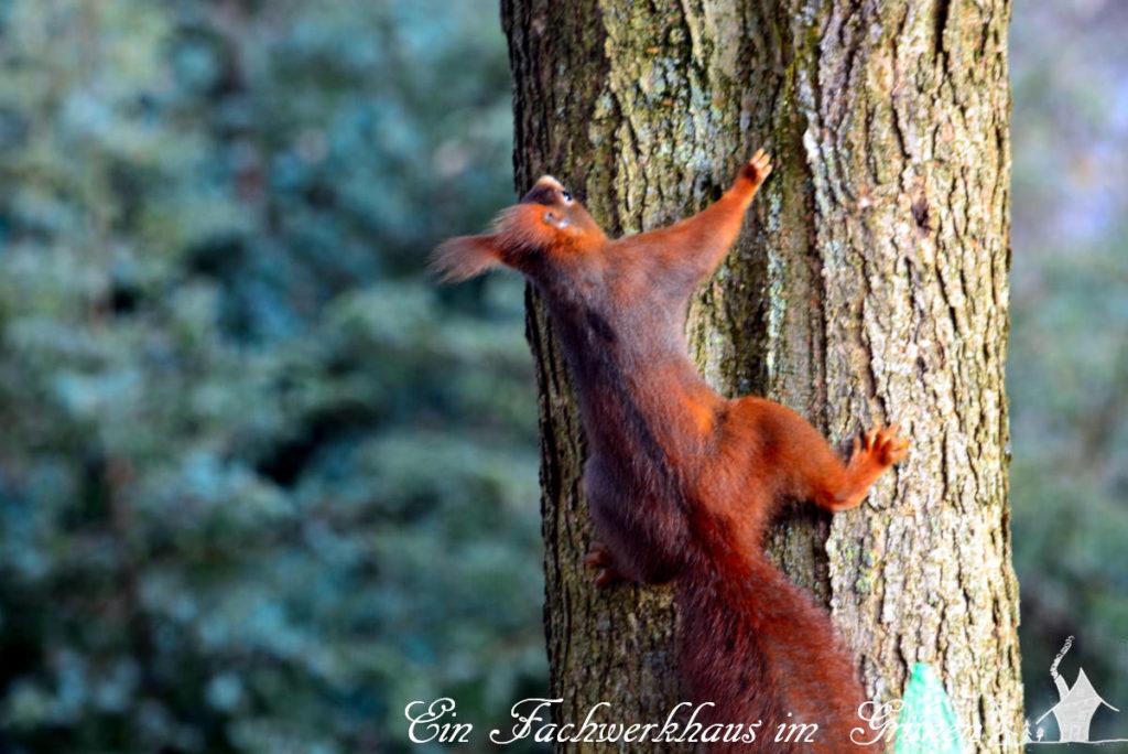 Ein Baumhörnchen klettert einen Trompetenbaum hoch.