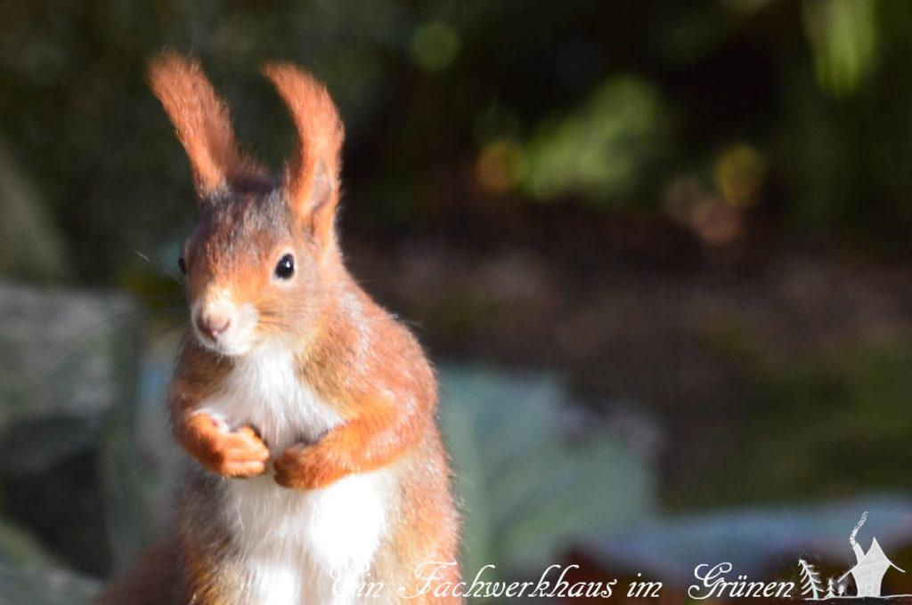 Wehrhaftes Eichhörnchen