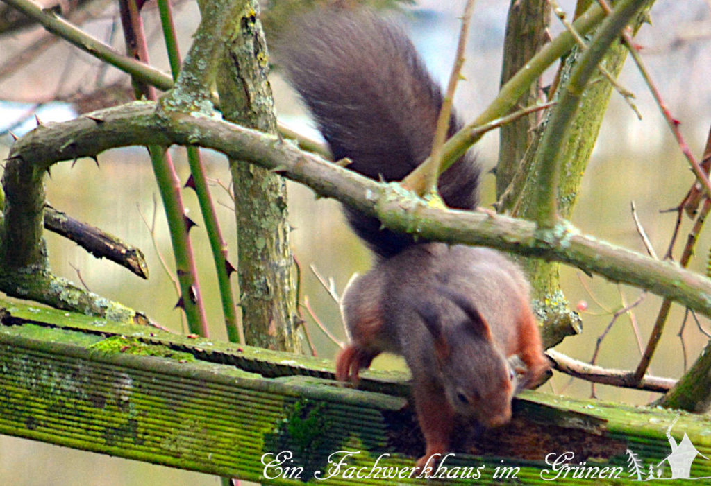 Schnappschuss eines Eichhörnchens.