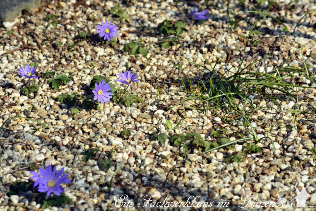 Anemonen vermehren sich in unserem Garten von selbst.