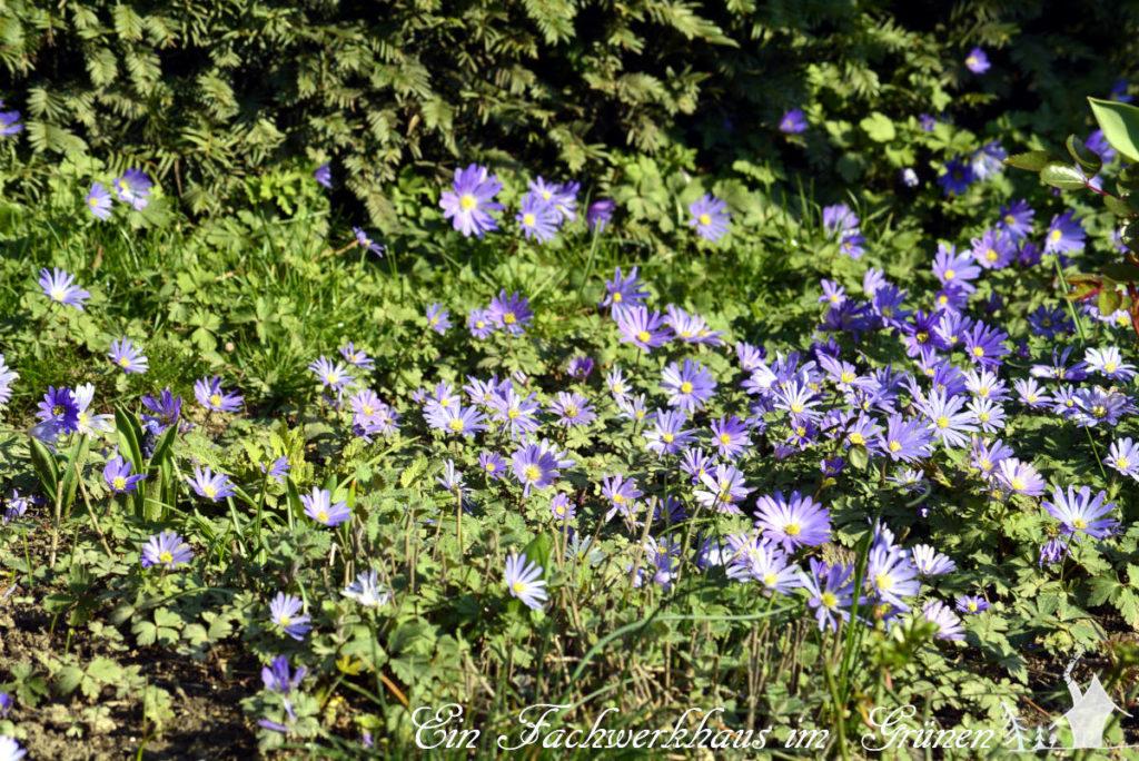 Frühlingsanemonen in unserem Rosengarten.